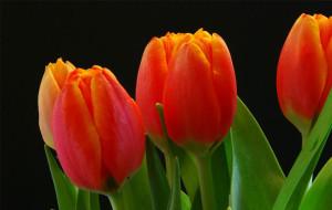venta de tulipanes en guatemala